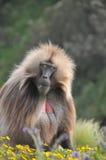 Babbon in wildernis Royalty-vrije Stock Afbeeldingen