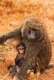 Babbuini del bambino e della madre Fotografia Stock