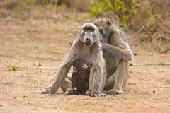 Babbuini del padre, della madre e del bambino, Kruger, Sudafrica Fotografie Stock