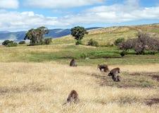Babbuini nella prateria della Tanzania Fotografia Stock