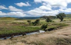 Babbuini nella prateria della Tanzania Fotografie Stock Libere da Diritti