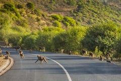 Babbuini sulla strada in Tanzania Immagini Stock Libere da Diritti