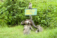 Babbuini in Tanzania Fotografie Stock