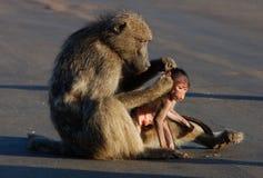 Babbuino in Africa Fotografia Stock