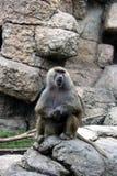 Babbuino al giardino zoologico Fotografia Stock