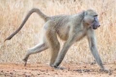 Babbuino che cammina a quattro zampe Fotografie Stock
