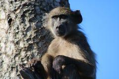 Babbuino che si siede in un albero Fotografie Stock Libere da Diritti