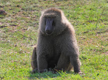 Babbuino comune che riposa sull'erba verde nel Kenya Fotografie Stock Libere da Diritti