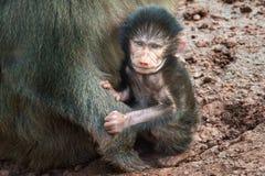 Babbuino con il bambino Fotografia Stock
