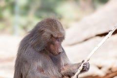 Babbuino con il bastone Fotografia Stock