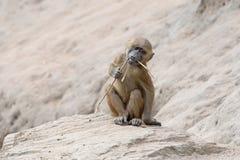 Babbuino della Guinea (papio del papio) Fotografia Stock Libera da Diritti