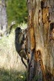 Babbuino della prateria sudafricana dell'albero. Fotografia Stock