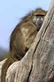 Babbuino di Chacma - Botswana Immagini Stock