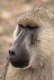 Babbuino di colore giallo del Cynocephalus del Papio in Africa Fotografia Stock