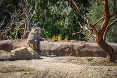 Babbuino di Hamadryas che si siede su una roccia Fotografie Stock Libere da Diritti