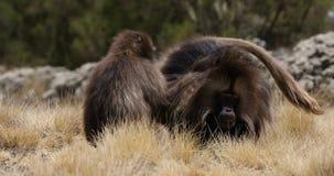 Babbuino endemico di Gelada in montagna di Simien, fauna selvatica dell'Etiopia stock footage