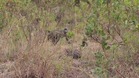 Babbuino nel safari archivi video