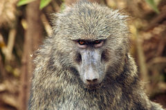 Babbuino primo piano # 2. A baboon in the bush in Lake Manyara National Park, Tanzania Stock Photography