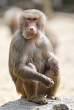Babbuino, sedentesi su una roccia Fotografia Stock Libera da Diritti