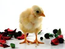 babby цыпленок Стоковое Изображение