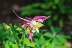 Babci czapeczka – Aquilegia vulgaris zdjęcie royalty free