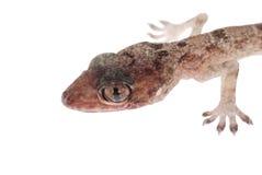 babe κεφάλι gecko που απομονώνετ&al Στοκ φωτογραφία με δικαίωμα ελεύθερης χρήσης