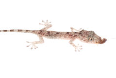 babe φάτε απομονωμένο gecko roach Στοκ Φωτογραφίες