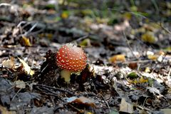 Babe Amanita. Is so beautiful, it`s a pity that it`s very poisonous stock photography