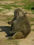 Babian från africa som äter några muttrar arkivfoto
