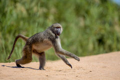 Babian i den Kruger nationalparken Royaltyfri Bild
