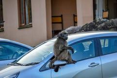 Babian på en bil arkivbilder