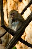 Babianapa på trädet Arkivbilder