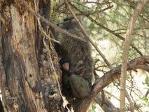 Babianen med behandla som ett barn i träd i Afrika Royaltyfri Bild