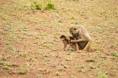 Babianen och gröngölingen i savannahen på Amboseli parkerar i nordvästligt arkivbild