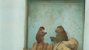 Babianen som är kvinnlig med gröngölingen, äter på trästångpapiocynocephalus