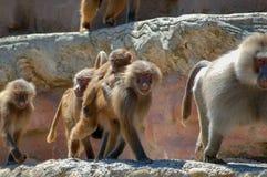 Babianer på den Paignton zoo i Devon, UK Arkivfoto