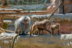 Babianer på den Paignton zoo i Devon, UK Royaltyfria Bilder