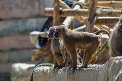 Babianer på den Paignton zoo i Devon, UK Royaltyfri Bild