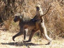 Babianer på kruger Royaltyfri Fotografi