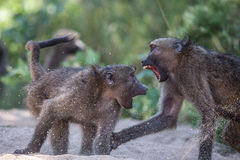 Babianer som slåss i den Kruger nationalparken Royaltyfria Bilder
