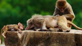 Babianfamilj på en trädstubbe Arkivfoto