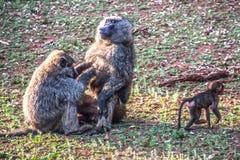 Babianpar med behandla som ett barn fotografering för bildbyråer
