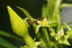 Babiarstwo mrówki! Fotografia Royalty Free