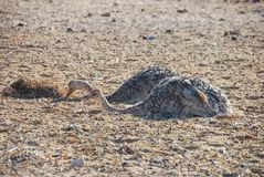 Babies of African ostrich Struthio camelus Stock Photo