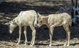 Babies of antelope, Eilat, Israel Royalty Free Stock Photos