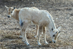 Babies of antelope Oryx Stock Photography