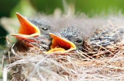 Babies birds Stock Photography