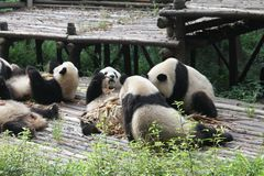 Babies Family Giant Panda, Chengdu China Stock Photo