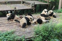 Babies Family Giant Panda, Chengdu China Stock Photos