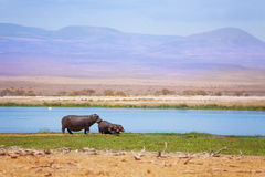 Babies hippo with mother pasturing at Amboseli Stock Image